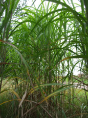 Miscanthus nationalrural.jpg
